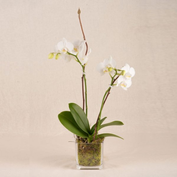LONG LASTING MINI ORCHID PLANT IN GLASS VASE