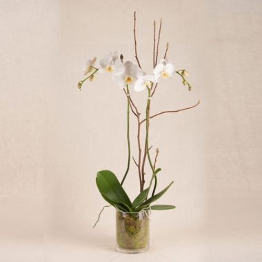 LONG LASTING PREMIUM DOUBLE ORCHIDS IN GLASS VASE