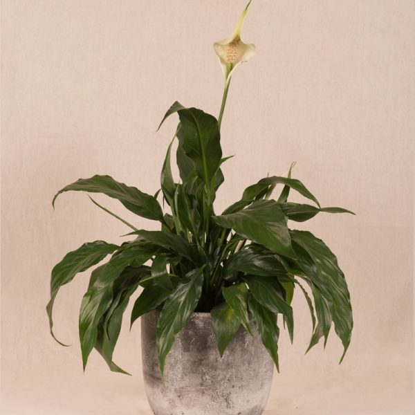 PEACE LILY IN CEMENT POT