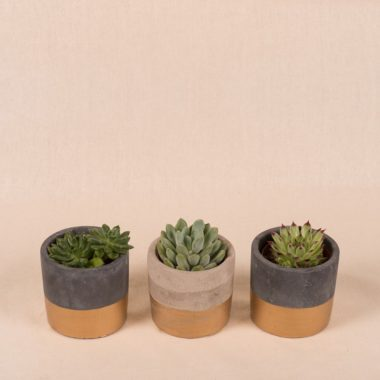 SET OF 3 SUCCULENCE IN CEMENT POT